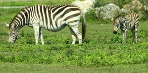 Grant's Zebra with Foal by CobaltBrony