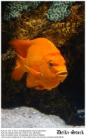 Orange Ghiribaldi Fish.4 by Della-Stock