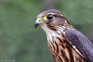 Merlin Falcon by Chelsey-Dunn