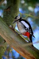 A woodpecker and his meal by OliverBPhotography