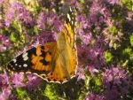 Painted lady 2 by Faunamelitensis