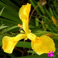 Yellow Iris 002 (12.07.13) by LacedShadowDiamond