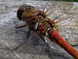 Ruddy Darter by iriscup