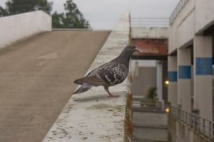 Pigeon by Jules171