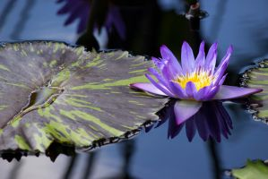 Purple water lily by OL27