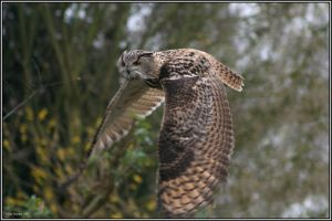 Eurasian Eagle Owl by CoupeKid
