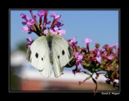 Small Cabbage White Butterfly by David-A-Wagner