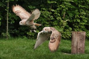 Flight of Siberian Eagle Owls by PedroHamers