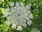 Queen Anne's Lace 2 by Windthin
