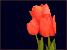 THREE TULIPS by THOM-B-FOTO