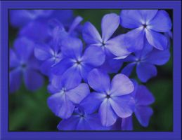 Purple Phlox by barcon53