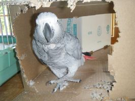 African Grey Parrot (Sheba) by WikiTiki7