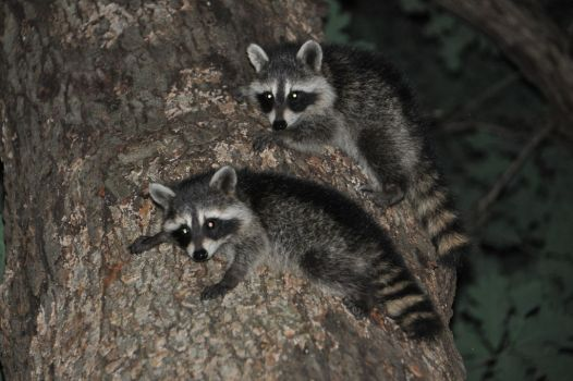 Baby Racoons by cmarples