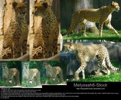 Cheetah Stock 1 by Melyssah6-Stock