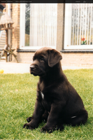 Labrador puppy by eggy