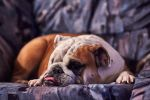 Happiness is a Bulldog by JestePhotography