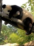 Giant panda 4 by Cansounofargentina