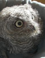 Month-old Western Screech Owl by Ciameth