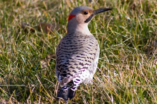 Northern Flicker by Assinmypants