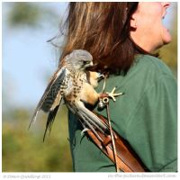 When Kestrels Attack by In-the-picture