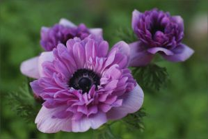 Beautiful Anemones by Firey-Sunset
