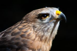 Hawk Closeup by secondclaw
