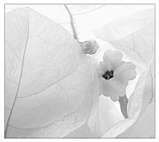 white bougainvilla by blacksheepwall