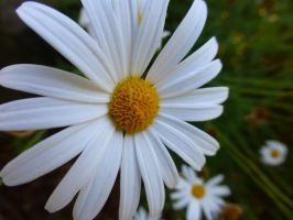 daisybell by mackyster