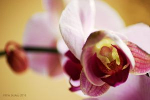 Orchid Love by Ellie-S