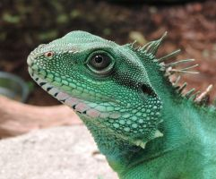 Chinese water dragon by Shippochan1000