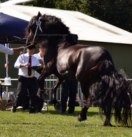 Friesian 9 by JullelinPhotography