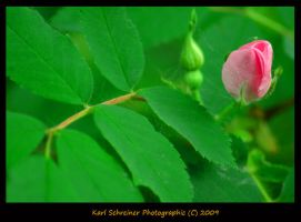 Wild Rose 1 by KSPhotographic