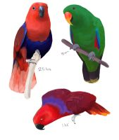 Eclectus Parrot Studies by Alyssa-Rice
