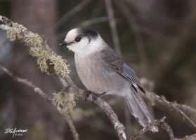 Gray Jay also a first by DGAnder