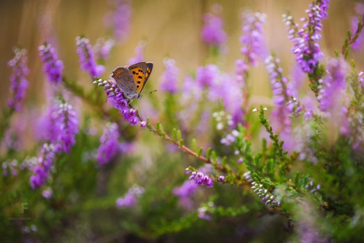 When the heather blooms by mescamesh