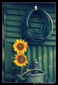 Sunflower by SweetSary