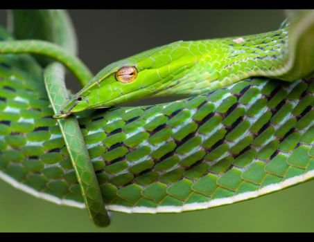 Vine snake by AngiWallace