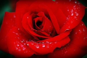red.red.rose. by minaohdate24