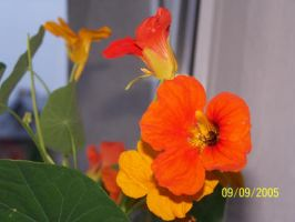 Orange flowers by black-cat16-stock