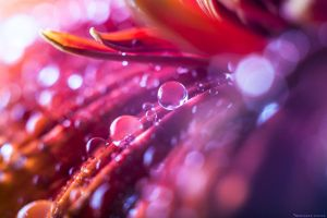 Drops and flower by MohannadKassab