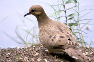 Mourning Dove by pickledeer
