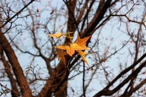 The maple leaves of autumn by Sophie-Y
