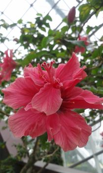 Hibiscus from a different point of view by Maykurasaki