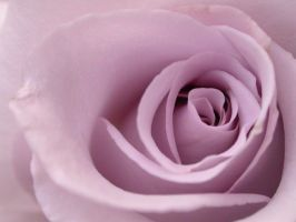 Rose - Lavender - Detail 4 by alchemist67