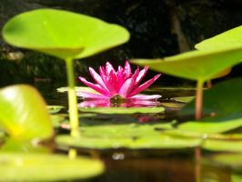 Under the Lily Pads by beckabue