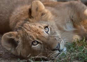 Lion Cub 0005 by robbobert