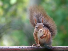 Squirrel 193 by Cundrie-la-Surziere