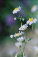 camomile by agnieszkakryspin