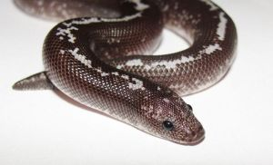 GC25 - Anery Stripe het Albino KSB M by the-shiznite