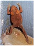 Small toad climbing by Jorapache